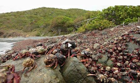 Crabs_